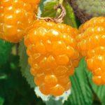 Малина сорт Золотая осень