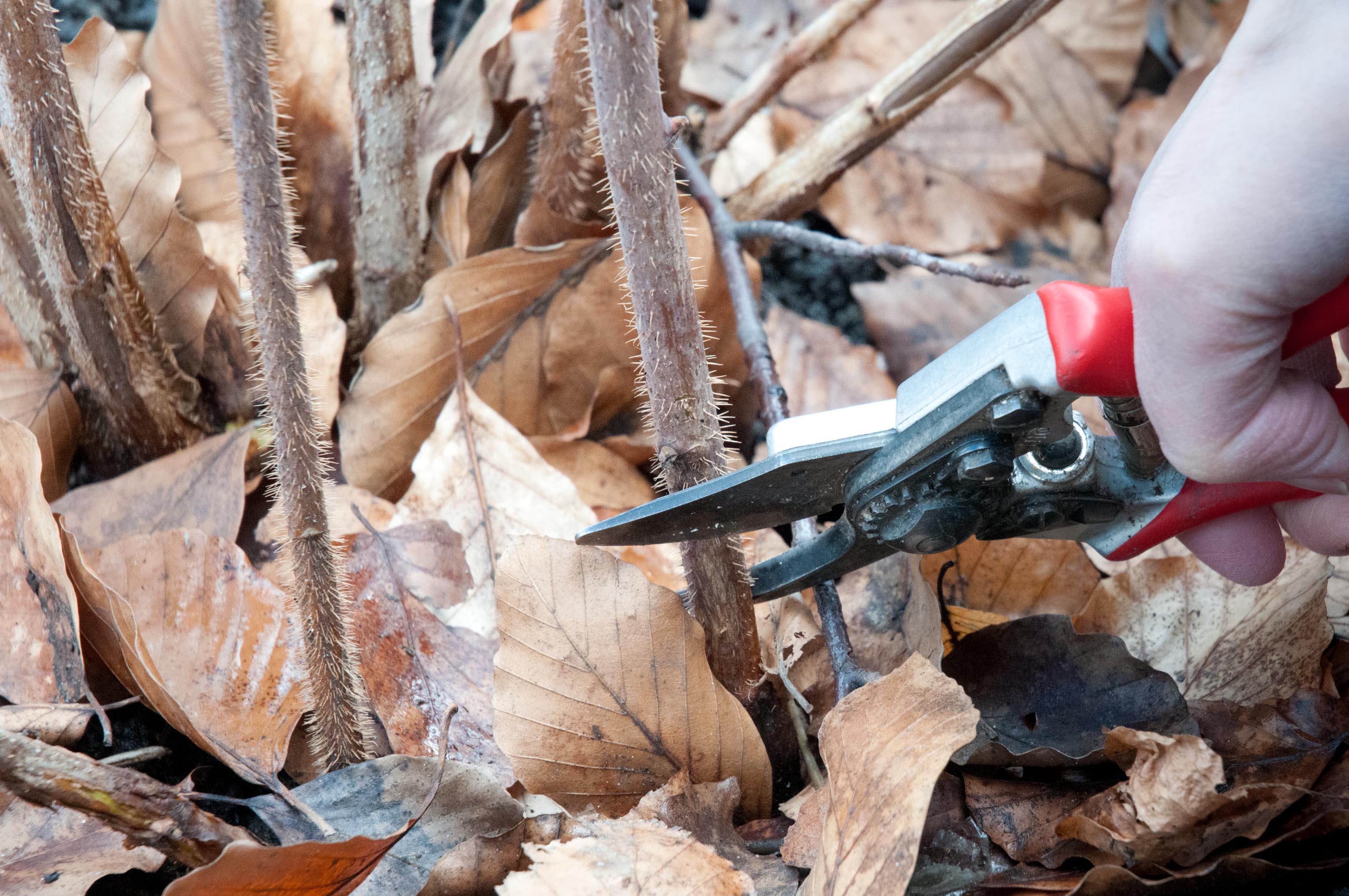 Как правильно обрезать малину осенью — советы для начинающих в картинках