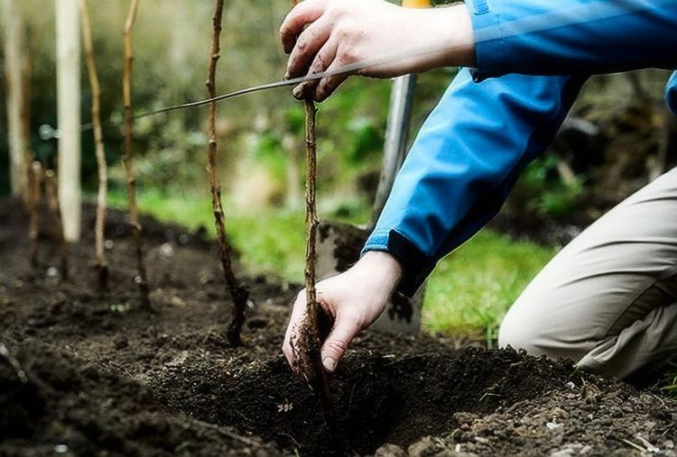 Пересадка малины осенью на новое место — когда и как лучше пересадить