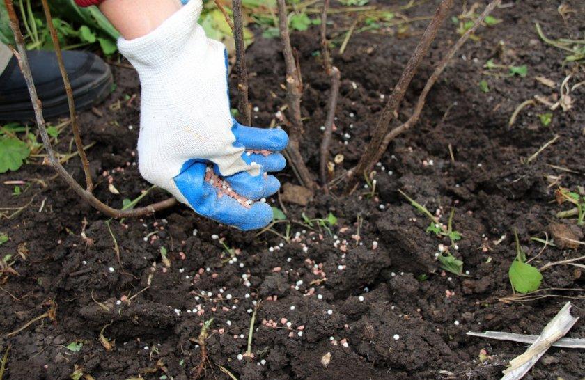 Подкормка малины осенью — чем лучше подкормить после сбора урожая