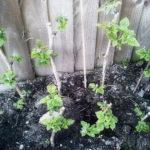 Посадка малины осенью - когда и как посадить саженцы